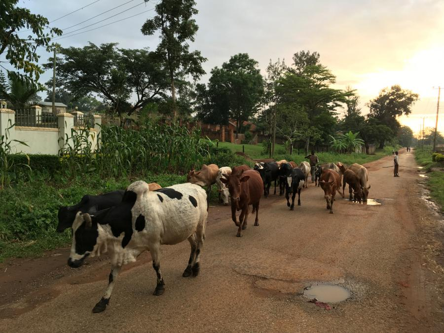 Animals herded on a road